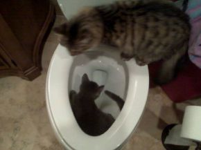 My cats decided they wanted to go for a dip in the toilet Picture